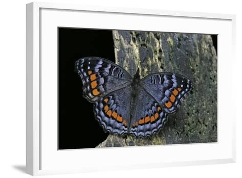 Precis Octavia (Gaudy Commodore) - Winter Form-Paul Starosta-Framed Art Print