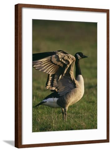 Canada Goose Stretching Wings-DLILLC-Framed Art Print