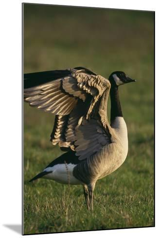 Canada Goose Stretching Wings-DLILLC-Mounted Photographic Print