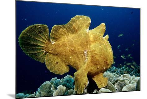Giant Frogfish (Antennarius Commersonii), Pacific Ocean, Panglao Island.-Reinhard Dirscherl-Mounted Photographic Print