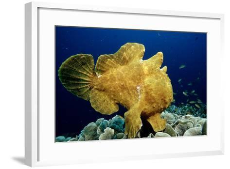 Giant Frogfish (Antennarius Commersonii), Pacific Ocean, Panglao Island.-Reinhard Dirscherl-Framed Art Print