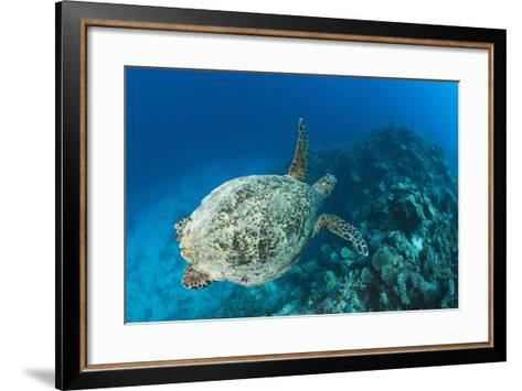 Hawksbill Turtle (Eretmochelys Imbricata)-Reinhard Dirscherl-Framed Art Print