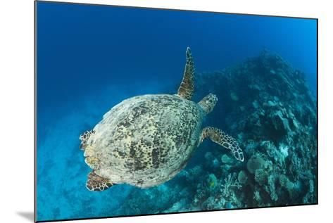 Hawksbill Turtle (Eretmochelys Imbricata)-Reinhard Dirscherl-Mounted Photographic Print