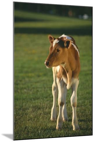 Calf Standing in Field-DLILLC-Mounted Photographic Print