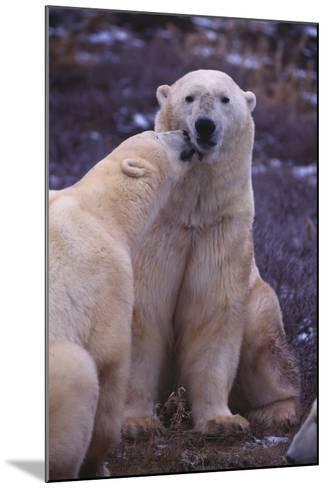 Polar Bears Nuzzling-DLILLC-Mounted Photographic Print