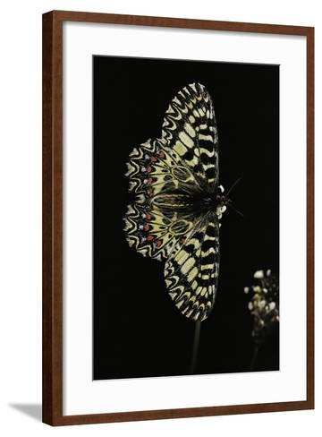 Zerynthia Polyxena (Southern Festoon)-Paul Starosta-Framed Art Print