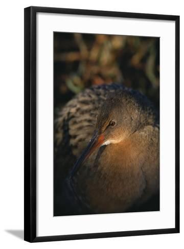 Clapper Rail-DLILLC-Framed Art Print