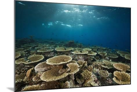 Table Corals (Acropora)-Reinhard Dirscherl-Mounted Photographic Print