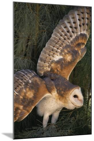 Barn Owl-DLILLC-Mounted Photographic Print