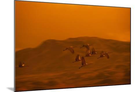 Sandhill Cranes Flying-DLILLC-Mounted Photographic Print
