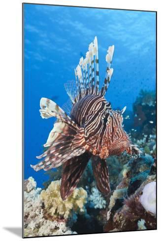 Lionfish (Pterois Miles)-Reinhard Dirscherl-Mounted Photographic Print