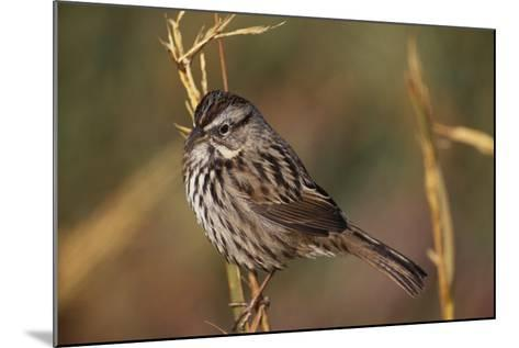 Chipping Sparrow on Twig-DLILLC-Mounted Photographic Print