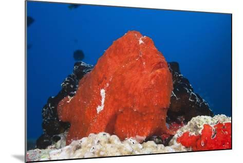 Red Giant Frogfish (Antennarius Commersonii)-Reinhard Dirscherl-Mounted Photographic Print