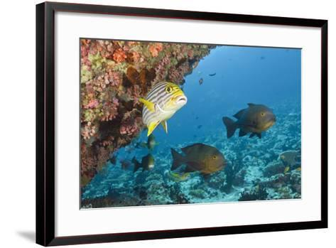 Snapper and Sweetlips in Coral Reef, Maldives-Reinhard Dirscherl-Framed Art Print