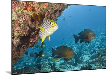 Snapper and Sweetlips in Coral Reef, Maldives-Reinhard Dirscherl-Mounted Photographic Print