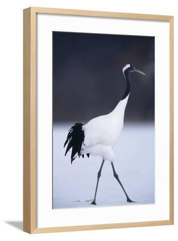 Red-Crowned Crane Walking on Snow-DLILLC-Framed Art Print