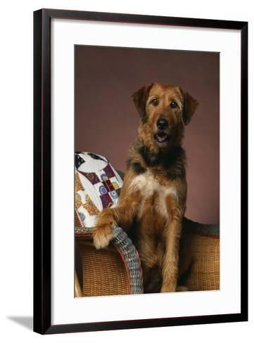 Airedale Mix Sitting on the Furniture-DLILLC-Framed Art Print