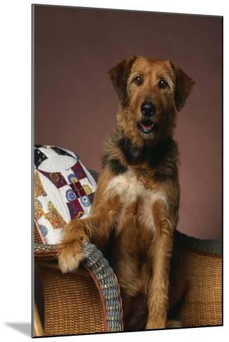 Airedale Mix Sitting on the Furniture-DLILLC-Mounted Photographic Print