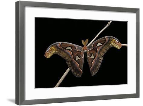Attacus Atlas (Atlas Moth) - Male-Paul Starosta-Framed Art Print