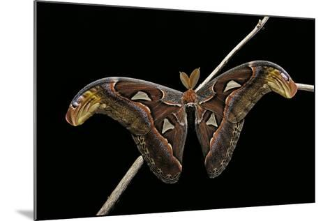 Attacus Atlas (Atlas Moth) - Male-Paul Starosta-Mounted Photographic Print