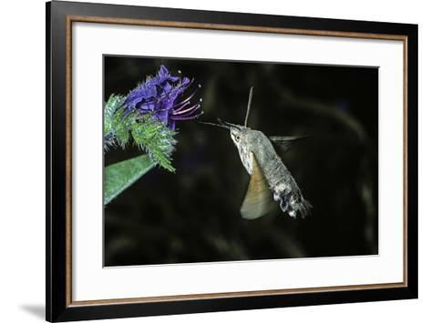 Macroglossum Stellatarum (Hummingbird Hawk-Moth) - Flying and Feeding on Flower Nectar-Paul Starosta-Framed Art Print