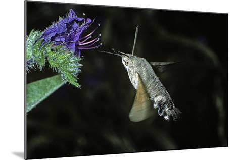 Macroglossum Stellatarum (Hummingbird Hawk-Moth) - Flying and Feeding on Flower Nectar-Paul Starosta-Mounted Photographic Print