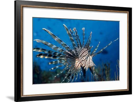 Lionfish or Turkeyfish (Pterois Volitans), Indian Ocean.-Reinhard Dirscherl-Framed Art Print