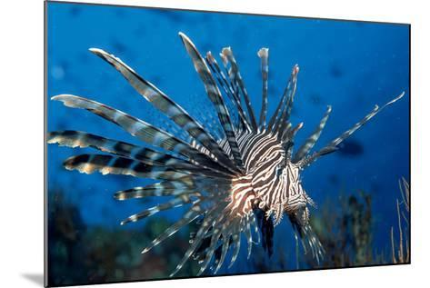 Lionfish or Turkeyfish (Pterois Volitans), Indian Ocean.-Reinhard Dirscherl-Mounted Photographic Print
