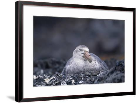Antarctic Giant Petrel on Nest-DLILLC-Framed Art Print