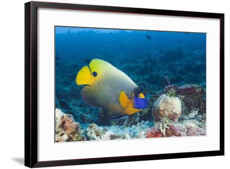 Yellowmask Angelfish (Pomacanthus Xanthometopon)-Reinhard Dirscherl-Framed Art Print