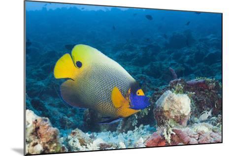 Yellowmask Angelfish (Pomacanthus Xanthometopon)-Reinhard Dirscherl-Mounted Photographic Print