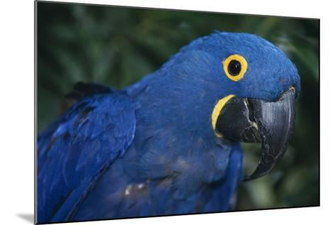 Hyacinth Macaw-DLILLC-Mounted Photographic Print