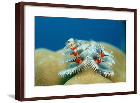 Christmas Tree Worms Growing on Coral (Spirobranchus Giganteus), Pacific Ocean, Borneo.-Reinhard Dirscherl-Framed Art Print