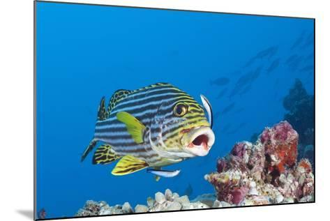 Oriental Sweetlips Cleaned by Cleaner Wrasse, Maldives-Reinhard Dirscherl-Mounted Photographic Print