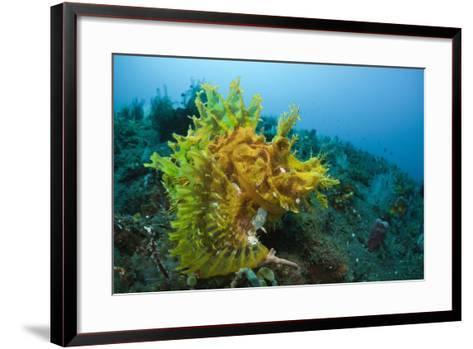 Yellow Weedy Scorpionfish (Rhinopias Frondosa), Alam Batu, Bali, Indonesia-Reinhard Dirscherl-Framed Art Print