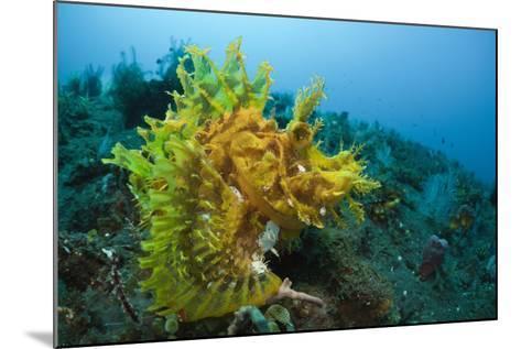 Yellow Weedy Scorpionfish (Rhinopias Frondosa), Alam Batu, Bali, Indonesia-Reinhard Dirscherl-Mounted Photographic Print