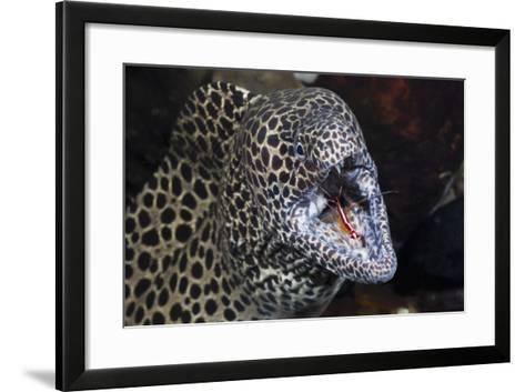 Honeycomb Moray Eel (Gymnothorax Favagineus) Being Cleaned by a White-Banded Cleaner Shrimp (Lysmat-Reinhard Dirscherl-Framed Art Print