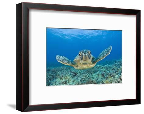 Green Turtle (Chelonia Mydas), Maui, Hawaii, USA-Reinhard Dirscherl-Framed Art Print