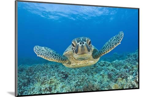 Green Turtle (Chelonia Mydas), Maui, Hawaii, USA-Reinhard Dirscherl-Mounted Photographic Print