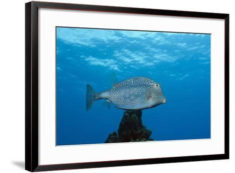 Honeycomb Cowfish (Lactophrys Polygonia), Cozumel, Caribbean Sea, Mexico-Reinhard Dirscherl-Framed Art Print