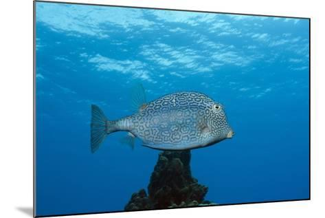 Honeycomb Cowfish (Lactophrys Polygonia), Cozumel, Caribbean Sea, Mexico-Reinhard Dirscherl-Mounted Photographic Print
