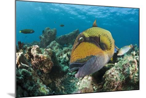 Moustache Triggerfish-Reinhard Dirscherl-Mounted Photographic Print