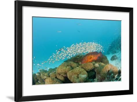 Schoolof Pygmy Sweepers and a Coral Grouper-Reinhard Dirscherl-Framed Art Print