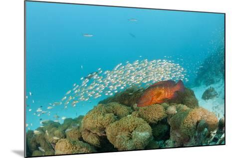 Schoolof Pygmy Sweepers and a Coral Grouper-Reinhard Dirscherl-Mounted Photographic Print