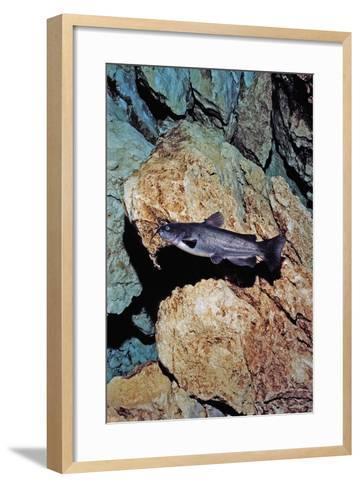 White Catfish (Ameiurus Catus), Crystal River, Florida, USA-Reinhard Dirscherl-Framed Art Print