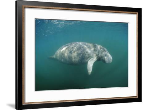 West Indian Manatee (Trichechus Manatus Latirostris) Florida Everglades, Florida, Usa.-Reinhard Dirscherl-Framed Art Print