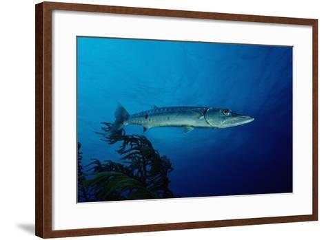 Great Barracuda (Sphyraena Barracuda)-Reinhard Dirscherl-Framed Art Print