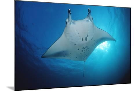 Manta Ray (Manta Birostris), Maldives Islands, Indian Ocean.-Reinhard Dirscherl-Mounted Photographic Print