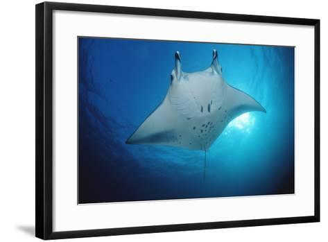 Manta Ray (Manta Birostris), Maldives Islands, Indian Ocean.-Reinhard Dirscherl-Framed Art Print