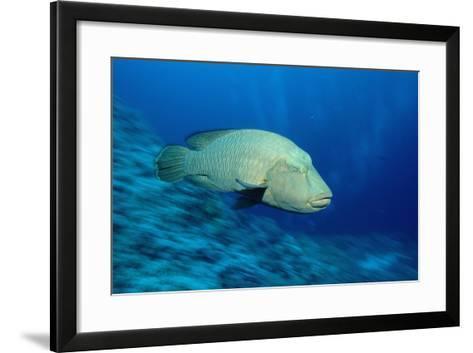Humpback Wrasse (Cheilinus Undulatus), Indo-Pacific Ocean.-Reinhard Dirscherl-Framed Art Print